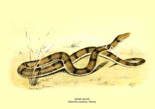 TIGER SNAKE - (Notechis scutatus, Peters)